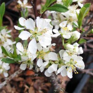 Prunus pumila var. depressa – Homok cseresznye