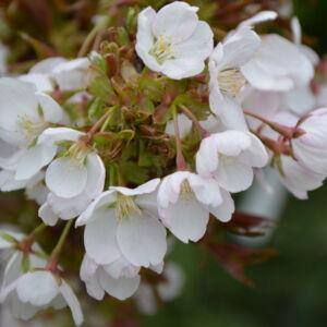 Prunus serrulata 'Little Jeremy' – Japán díszcseresznye