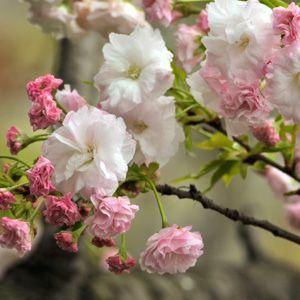 Prunus serrulata 'Shimidsu' – Japán díszcseresznye