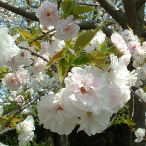 Prunus serrulata 'Shirotae' – Japán díszcseresznye