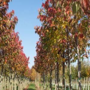 Prunus serrulata 'Sunset Boulevard' – Japán díszcseresznye