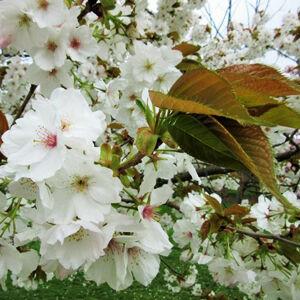 Prunus serrulata 'Taihaku' – Nagy, fehér cseresznyefa