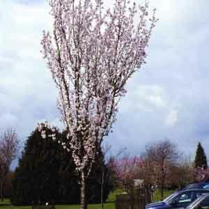 Prunus 'Spire' - 'Spire' díszcseresznye