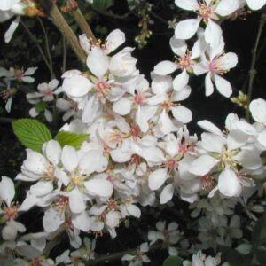 Prunus tomentosa 'Orient' – Pelyhes meggy