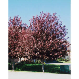 Prunus virginiana 'Schubert' - Zelnicemeggy
