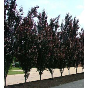 Prunus cerasifera 'Crimson Pointe' - Oszlopos vérszilva