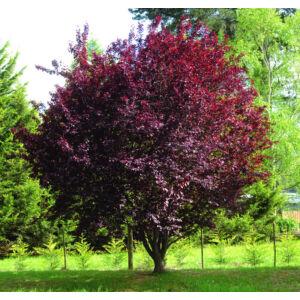 Prunus cerasifera 'Nigra' – Vérszilva (extra méretű koros)