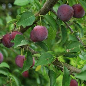 Prunus cerasifera – Vérszilva