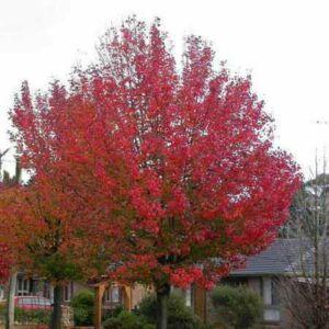 Pyrus calleryana 'Autumn Blaze' – Kínai díszkörte