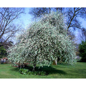 Pyrus salicifolia 'Pendula' – Csüngő díszkörte