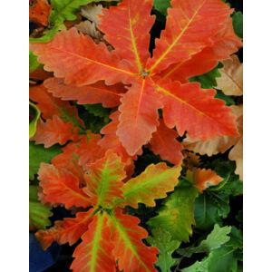 Quercus dentata 'Carl Ferris Miller' – Nagylevelű császártölgy