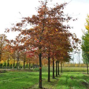 Quercus imbricaria – Zsindelyes tölgy
