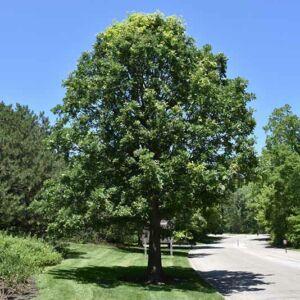 Quercus macrocarpa – Nagylevelű tölgy