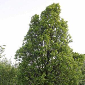 Quercus 'Monument' – Tölgy