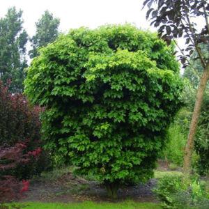Quercus palustris 'Isabel' – Mocsári tölgy