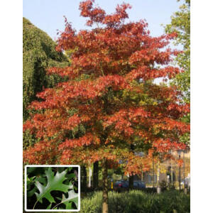 Quercus palustris – Mocsári tölgy