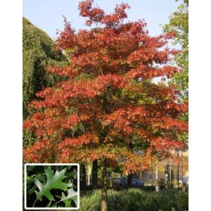 Quercus palustris – Mocsári tölgy (extra méretű koros)