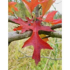 Quercus palustris 'Swamp Pygmy' – Mocsári tölgy
