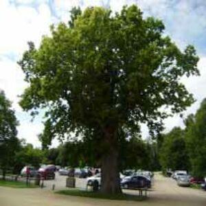 Quercus robur 'Castle Howard' – Kocsányos tölgy