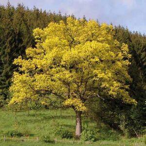 Quercus robur 'Concordia' – Kocsányos tölgy
