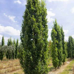 Quercus robur 'Zeeland' – Kocsányos tölgy