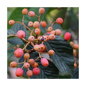 Sorbus alnifolia 'Red Bird' – Égerlevelű berkenye