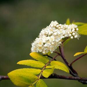 Sorbus aucuparia 'Dirkenii' – Madárberkenye