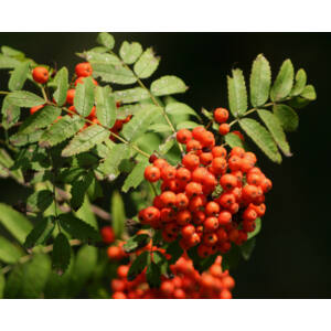 Sorbus aucuparia – Közönséges madárberkenye