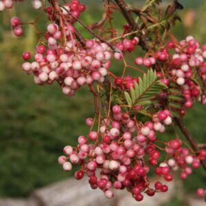 Sorbus aucuparia 'Rose Glow' – Közönséges berkenye