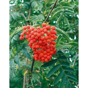 Sorbus aucuparia 'Wettra' – Madárberkenye (extra méretű koros)