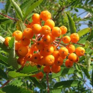 Sorbus commixta 'Birgitta' – Madárberkenye