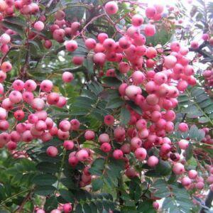 Sorbus 'Coral Pink' – Berkenye