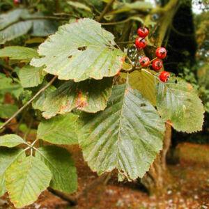 Sorbus cyclophylla - Berkenye