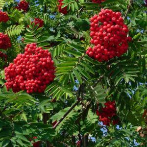Sorbus decora – Díszes berkenye