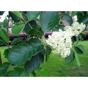 Sorbus intermedia – Svéd berkenye