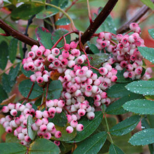 Sorbus 'Rosemary' – Madárberkenye