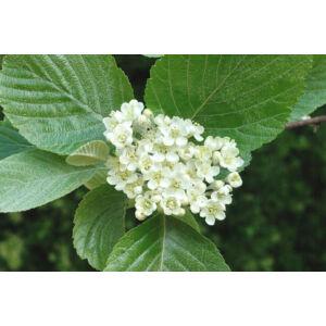 Sorbus rotundifolia – Kereklevelű berkenye