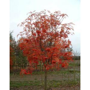 Sorbus wilfordii – Madárberkenye