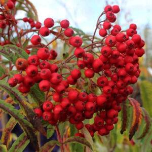 Sorbus x kewensis 'Chinese Lace' – Madárberkenye