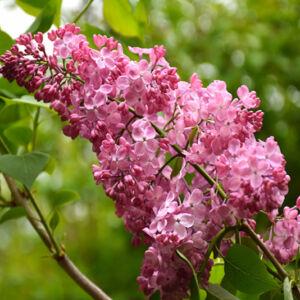 Syringa hyacinthiflora x 'Maiden's Blush' – Jácintvirágú orgona