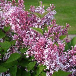 Syringa 'Josikaea' – Jósika-orgona (rózsaszín)
