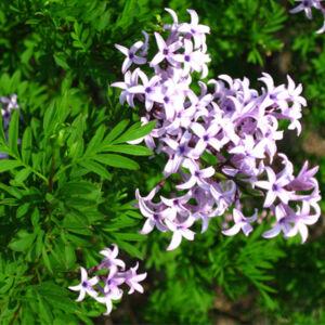 Syringa x laciniata - Szeldeltlevelű (perzsa) orgona