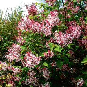 Syringa microphylla 'Superba' – Rózsaszín, kislevelű orgona
