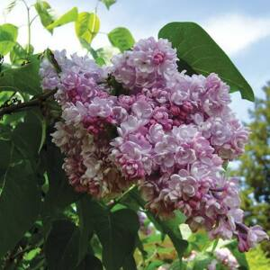 Syringa vulgaris 'Belle de Nancy' – Rózsaszín orgona