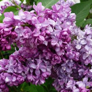 Syringa vulgaris 'General Pershing' – Telt, világoslila virágú orgona