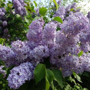 Syringa vulgaris 'Katherina Havemeyer' – Liláskék, illatos orgona
