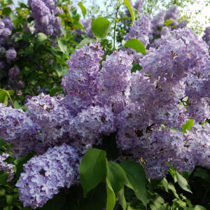 Syringa vulgaris 'Katherina Havemeyer' – Liláskék, illatos orgona