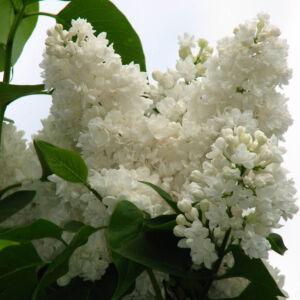 Syringa vulgaris 'Miss Ellen Willmot' – Fehér virágú orgona