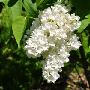 Syringa vulgaris 'Mme Florent Stephan' – Orgona (fehér)
