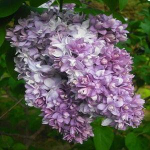 Syringa vulgaris 'Nadezhda' – Közönséges orgona